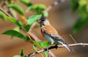 животные, птицы, самец, коноплянки, природа, пернатые, лето, коноплянка