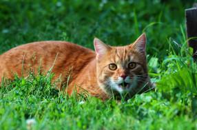 животные, коты, кошки, кот, дача, стёпка, степан, рыжий, природа, питомцы, лето