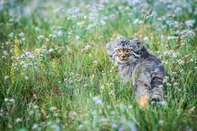 животные, манулы, маленький, манул, степь, котёнок, луг, цветы