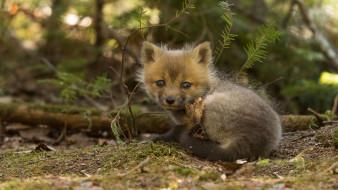 животные, лисы, лисёнок, лиса, малыш, взгляд, детёныш