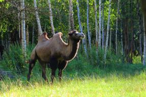 животные, лето, природа, рязань, верблюд