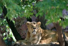 животные, львы, кошачьи, зоопарк, заросли, фауна, сюжет, солнечно, зарисовка, животный, мир, природа, портрет, львица, листва