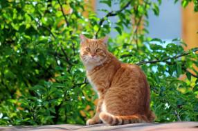 животные, коты, стёпка, степан, дача, рыжий, кот, питомцы, лето, кошки