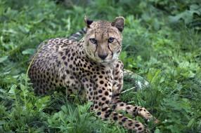 животные, гепарды, животный, мир, солнечно, хвост, природа, лужайка, экзотика, кошачьи, зоопарк, хищник, сюжет, фауна