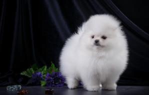 животные, собаки, щенок, пушистый, белый, шпиц
