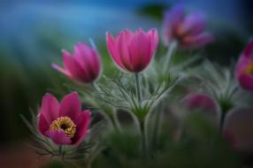 цветы, анемоны,  сон-трава, сон-трава, природа, весна