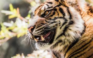 животные, тигры, морда, анфас, растения
