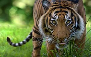 животные, тигры, взгляд, профиль, морда, растения, трава