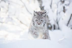 животные, рыси, снег, взгляд