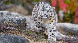 животные, леопарды, земля, камни, профиль, взгляд