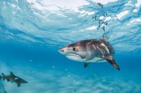 животные, акулы, под, водой