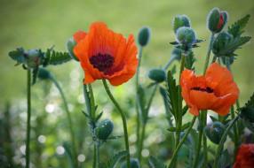 капли, мак, природа, цветы