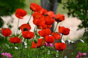 мак, цветение, цветы