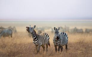 природа, савана, зебры