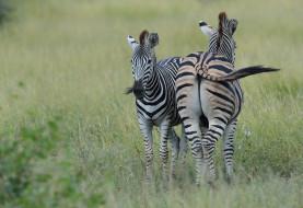 природа, трава, пара, зебры