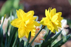 весна, дача, красота, цветы, цветение, природа, нарциссы