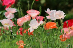 красота, природа, цветение, цветы, лето, мак, мак-самосейка, дача