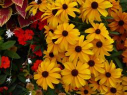 солнышки, сад, Рудбекия