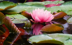 цветы, лилии водяные,  нимфеи,  кувшинки, нимфея, цветение, вода, листья