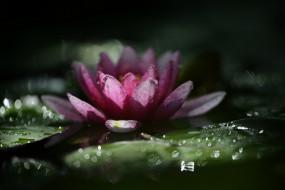 цветы, лилии водяные,  нимфеи,  кувшинки, природа, макро, нимфея, водяная, лилия, капли, дождя, боке