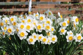 нарциссы, цветение, лепестки, цветы