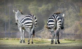 зебры, природа, трава, пара