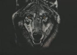 взгляд, фон, волк