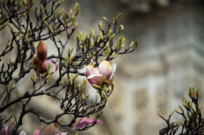 магнолия, кустарник, цветы, цветение, лето