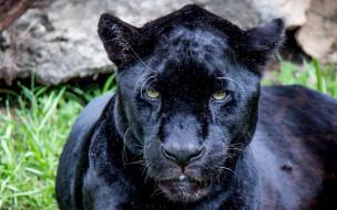 животные, Ягуары, морда, взгляд, профиль