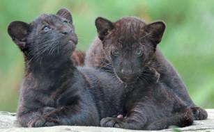 животные, Ягуары, ягуары, природа, черные, малыши