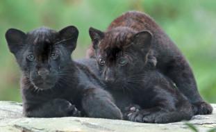 животные, Ягуары, черные, малыши, ягуары, природа
