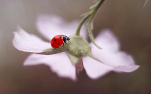 насекомое, цветок, макро, Божья коровка