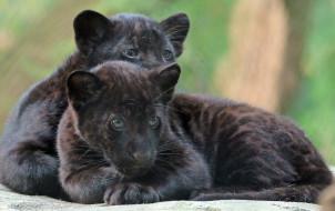 животные, Ягуары, природа, ягуары, малыши, черные