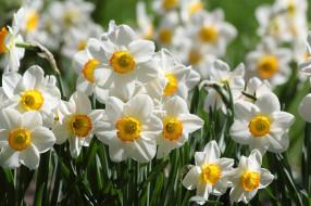 цветение, лепестки, нарциссы, цветы