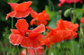 красота, лето, дача, цветение, мак, цветы, природа
