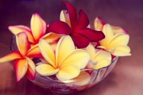 цветы, плюмерия, ваза