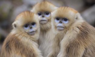 обезьяны, три, взгляд, желтые