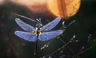 животные, стрекозы, насекомое, крылья, стрекоза, травинка