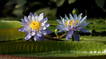 цветы, лилии водяные,  нимфеи,  кувшинки, пруд, листья, кувшинки, вода