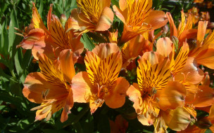 Оранжевые, альстрёмерия, цветы