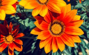 лепестки, Газания, цвет, цветы