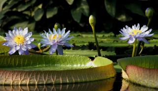 цветы, лилии водяные,  нимфеи,  кувшинки, кувшинки, вода, пруд, листья