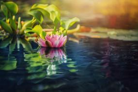 цветы, лилии водяные,  нимфеи,  кувшинки, лето, озеро, лилии