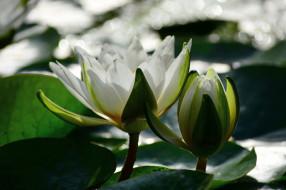 цветы, лилии водяные,  нимфеи,  кувшинки, кувшинка, водоем, белая, аптекарский, огород