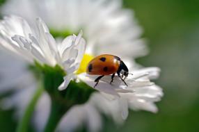 флора, природа, дача, июнь, растения, божья коровка, жуки, красота, макро, насекомые