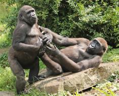 зоо, природа, животное, обезьяна