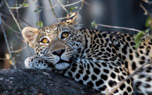 животные, леопарды, отдых, растения, взгляд