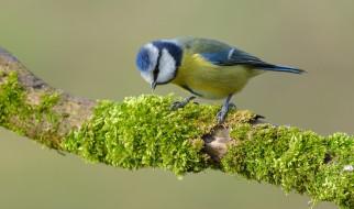 животные, синицы,  лазоревки, птичка