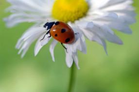 июнь, природа, насекомые, макро, красота, растения, дача, флора, божья коровка, жуки