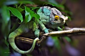 животные, Ящерицы,  игуаны,  вараны, ветка, хамелеон, чёрный, фон, ящерица